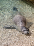 Mediterranean monk seal Royalty Free Stock Photo
