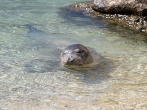 Mediterranean monk seal Royalty Free Stock Images