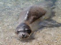 Mediterranean monk seal Stock Image