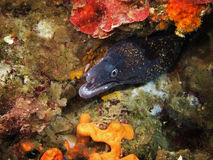 Mediterranean moray Royalty Free Stock Photography