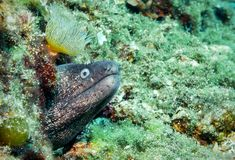 Mediterranean moray eel in the aegean sea royalty free stock photography