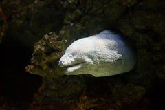 Mediterranean moray - Muraena helena Stock Photo
