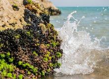 Mediterranean mussel Stock Photo