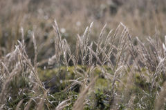 Mediterranean Needle Grass (Stipa capensis) Royalty Free Stock Images