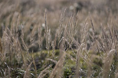 Mediterranean Needle Grass (Stipa capensis) Royalty Free Stock Photo