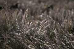 Mediterranean Needle Grass (Stipa capensis) Royalty Free Stock Image