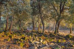 Mediterranean oak highland forest rocky ground. Characteristic Mediterranean Oak forest in the Catalan highlands with moss covered rocks and stones on the ground stock photos