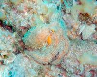 Mediterranean octopus Stock Image