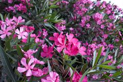 Mediterranean oleander Flowers Background. Mediterranean pink and purple oleander Flowers Background blowing on the south coasts of Greece and Turkey stock photo