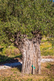 Mediterranean olive field with old olive tree ready for harvest. Stock Photo