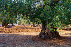 Mediterranean olive field with old olive tree Royalty Free Stock Photo