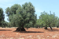 Mediterranean olive field with old olive trees against the blue sky Stock Photography