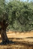 Mediterranean olive tree. Mediterranean olive field with olive tree ready for harvest stock image