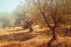 Mediterranean olive trees. Mediterranean olive field with olive tree ready for harvest Royalty Free Stock Photo
