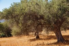 Mediterranean olive trees. Mediterranean olive field with olive tree ready for harvest royalty free stock images