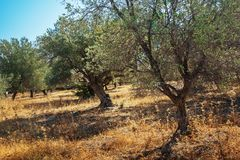 Mediterranean olive trees. Mediterranean olive field with olive tree ready for harvest Stock Photography