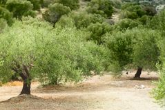 Mediterranean olive grove Stock Photo