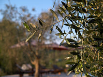 Mediterranean olive olive tree Stock Photo