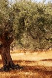 Mediterranean olive tree. Mediterranean olive field with olive tree ready for harvest royalty free stock photo