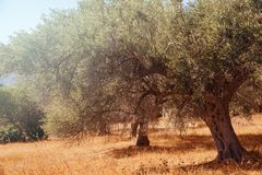 Mediterranean olive trees. Mediterranean olive field with olive tree ready for harvest Stock Image