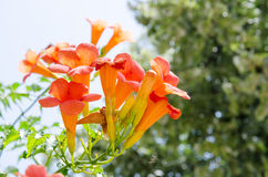 Mediterranean orange trumpet flower Royalty Free Stock Photos
