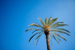 Mediterranean palm tree Royalty Free Stock Photography