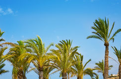 Mediterranean Palm trees on blue sky Royalty Free Stock Images