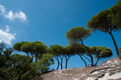 Mediterranean parasol pines Royalty Free Stock Images