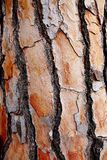 Mediterranean pin bark trunk texture Stock Photo