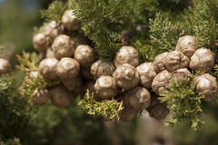 Mediterranean pine branch. Close up of mediterranean pine branch Royalty Free Stock Photo