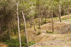 Mediterranean pine forest Royalty Free Stock Photos
