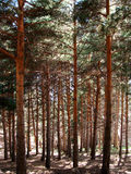 Mediterranean pine forest Stock Photography