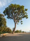 Mediterranean pine tree and empty bench royalty free stock photo