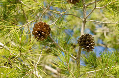 Mediterranean pine tree Stock Images