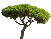 Mediterranean pine tree isolated on white background royalty free stock photos