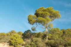 Mediterranean pine tree. Large Mediterranean tree standing out in a forested area Stock Photos