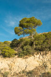 Mediterranean pine tree. Large Mediterranean tree standing out in a forested area Royalty Free Stock Image