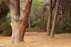 Mediterranean pine trees. Trunk in Corsica siland Royalty Free Stock Photography