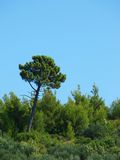 Mediterranean pine (vertical) Stock Photos