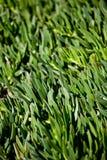 Mediterranean plant bush Royalty Free Stock Photos