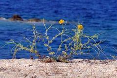 Free Mediterranean Plant With Yellow Flowers On A Dune Of Tristinika Beach, ToroniMediterranean Plant With Yellow Flowers With The Blue Stock Photography - 179544422
