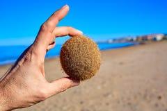 Mediterranean Posidonia beach in alicante Denia Stock Image