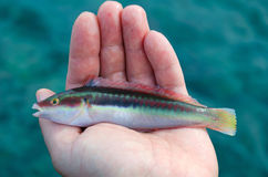 Mediterranean rainbow wrasse Royalty Free Stock Images