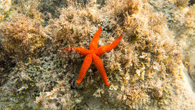 Mediterranean Red Starfish. Alive Red Starfish in shallow waters, Mediterranean Sea royalty free stock image