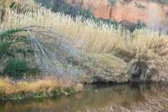 Mediterranean river in winter ambient vegetation. Winter ambient in the mediterranean riverine habitat of a nature wildlife reserve in northern Catalonia royalty free stock photo
