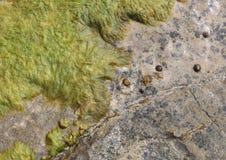 Mediterranean rocks beach with algae. Algae over rocks detail in Cala Blava beach coast area in the Spanish balearic island of Mallorca Stock Images