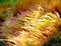 Mediterranean sea anemone. Close-up view of sea anemone, Banyuls sur mer mediterranean, France Stock Images