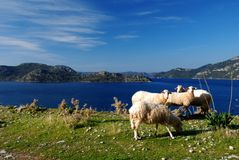 Mediterranean Sea and Sheep Stock Photography
