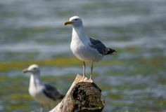 Mediterranean Seagull on a branch in the water in Danube Delta R. Omania. A common sighting for tourists visiting Danube Delta for birdwatching, for fishing or stock images