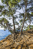 The mediterranean shore. Pine trees with exposed roots Stock Image